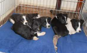 vicente with 4 pups