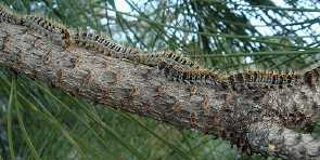 pine processing caterpilars